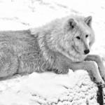 Wolf im Merziger Gehege